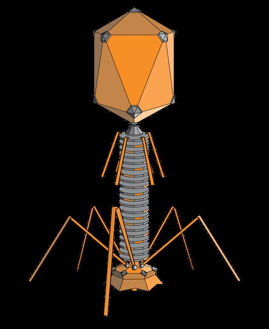 Rosalind Glossary Bacteriophage